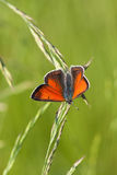 Lycaena dispar Haworth Royalty Free Stock Images