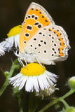 Lycaena dispar / large cooper butterfly Stock Photography