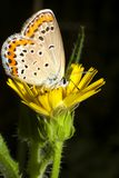 Lycaena dispar / large cooper butterfly, female Royalty Free Stock Photos