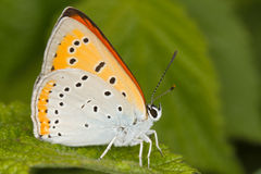 Lycaena dispar / large copper butterfly, male Stock Images