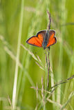 Lycaena Haworth dispar Fotografie Stock