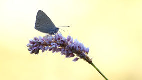 Lycaena hippothoe Stock Photos