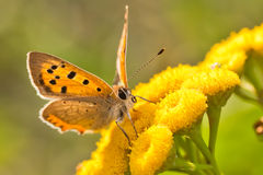 Lycaena Phlaeas butterfly. Beautiful Lycaena Phlaeas or small copper butterfly sitting on yellow flowers and feeds with flower nectar Royalty Free Stock Photo