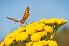 Lycaena Phlaeas della farfalla o piccolo rame Fotografie Stock