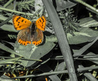 Lycaena phlaeas - female Stock Photography