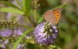 Lycaena Phlaeas Mediterrane vlinder royalty-vrije stock fotografie