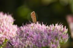 Lycaena phlaeas on Sedum spectable stock photo