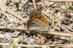 Lycaena phlaeas, Small Copper, American Copper, Common Copper butterfly from Tuscany, Italy Royalty Free Stock Images