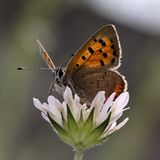 Lycaena phlaeas, Small Copper, American Copper, Common Copper Stock Photos