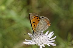 Lycaena phlaeas, Small Copper, American Copper, Common Copper Royalty Free Stock Image