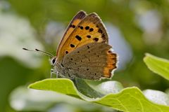 Lycaena phlaeas, Small Copper, American Copper, Common Copper, european butterfly from France Royalty Free Stock Images