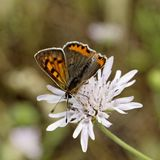 Lycaena phlaeas, Small Copper, American Copper, Common Copper, european butterfly from France, Europe Royalty Free Stock Photos