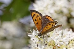 Lycaena phlaeas, Small Copper, American Copper, Common Copper, european butterfly from France Stock Photography