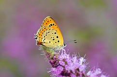 Free Lycaena Thersamon , Lesser Fiery Copper Butterfly On Purple Flower Stock Image - 195808701