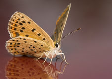 Lycaena Tityrus Stock Images