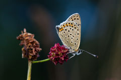 Lycaena tityrus. Sooty Copper (Lycaena tityrus) sitting on Great Burnet (Sanguisorba officinalis Stock Photography