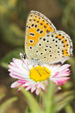 Lycaena Tityrus / Blue Sooty Copper Butterfly Royalty Free Stock Photo