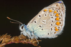 Lycaena tityrus / Blue Sooty Copper butterfly. Close-up Stock Photography