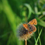 Lycaena tityrus butterfly on green background. Typical butterfly of middle european fields and meadows Royalty Free Stock Images