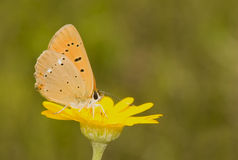 Lycaena virgaureae Stock Photography