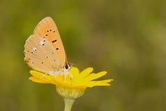 lycaena virgaureae Fotografia Stock