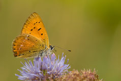 Lycaena virgaureae Royalty Free Stock Photography