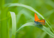 Lycaena virgaureae Stock Images