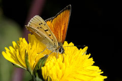 Lycaena virgaureae, scarce copper Stock Photography