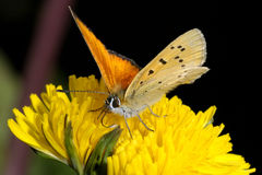 Lycaena virgaureae, scarce copper Stock Images