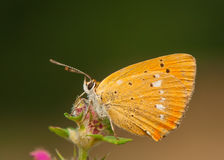 Lycaena virgaureae Royalty Free Stock Photos