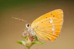 Lycaena virgaureae Royalty Free Stock Image