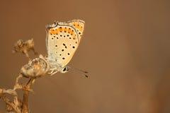 lycaenathersamon Royaltyfri Fotografi