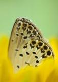 Lycaenidae Immagini Stock