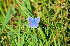 Lycaenidae blu della farfalla Immagine Stock