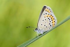 Lycaenidae butterfly. A lycaenidae butterfly lands on grass. Scientific name: Polyommatus icarus Stock Photos