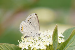 Lycaenidae butterfly Stock Photos