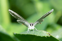 Lycaenidae butterfly Stock Photo