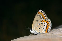 Lycaenidae butterfly royalty free stock photo