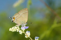 Lycaenidae butterfly Stock Image
