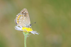 Lycaenidae butterfly Stock Photography
