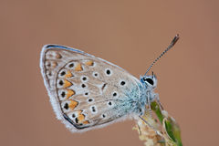Lycaenidae butterfly on a flower Royalty Free Stock Photos