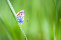 Lycaenidae butterfly on a flower Royalty Free Stock Photo