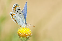 Lycaenidae butterfly Stock Images