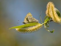 Lycaenidae de Cuivre-papillon Le beau papillon font l'accouplement Images libres de droits