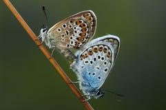 Lycaenidae de lat de Cuivre-papillon Photographie stock