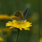 Lycaenidae de lat de Cuivre-papillon Photo stock
