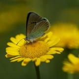 Lycaenidae de lat de Cuivre-papillon Images stock