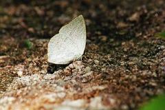 Lycaenidae de papillons Aile inférieure de Subfamily du blanc argenté brillant de 2 sexes Les mâles sur les ailes sont brun-rouge Photographie stock