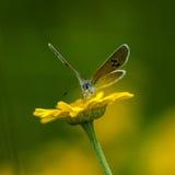 Lycaenidae do lat da Cobre-borboleta Foto de Stock