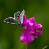 Lycaenidae do lat da Cobre-borboleta Imagens de Stock